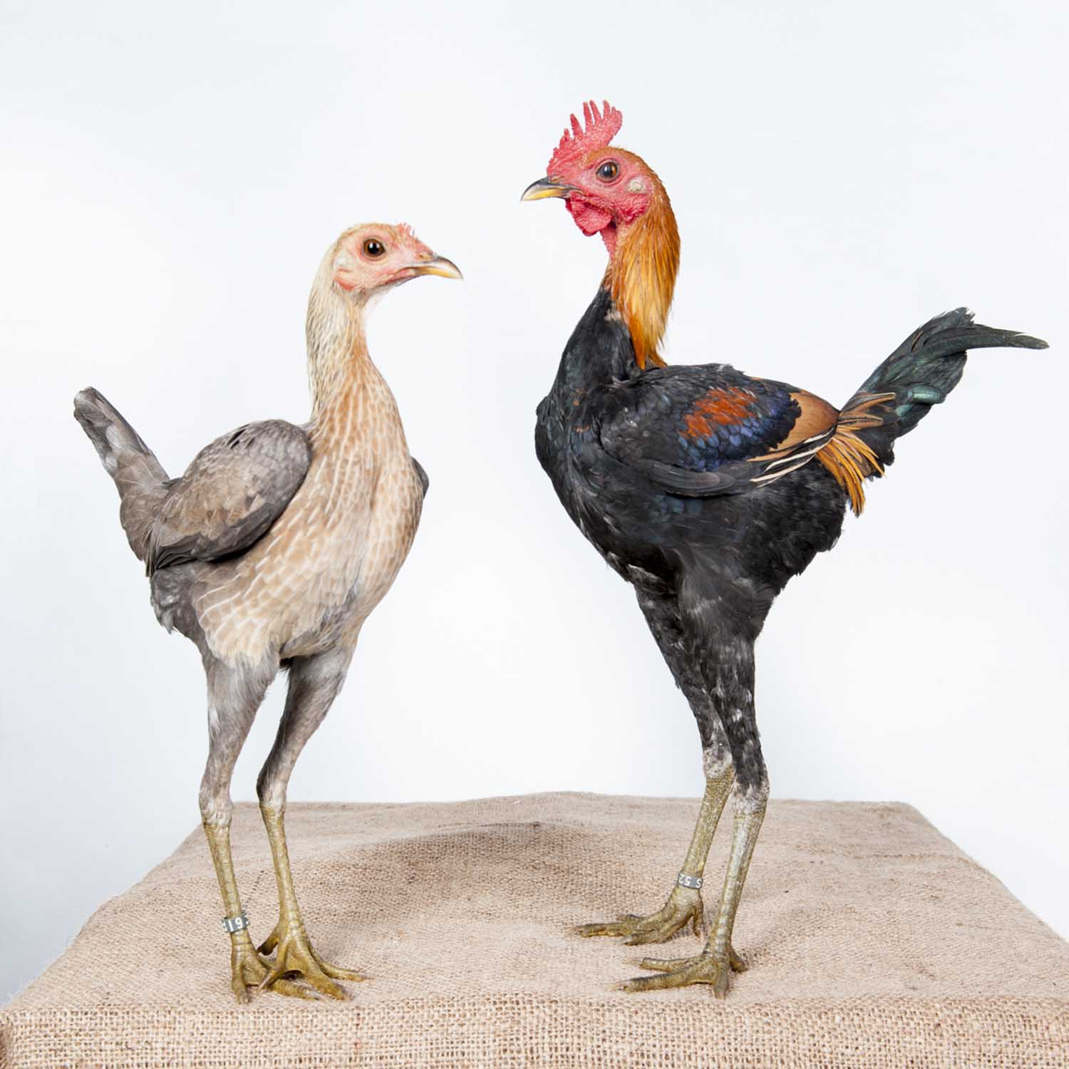 Chickens by Emanuela Colombo, The Fence   World Photography